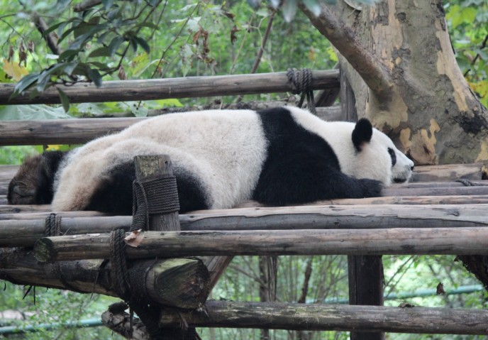 Vergrößerte Version von Chengdu - Research Base of Giant Panda Breeding XXXII anzeigen