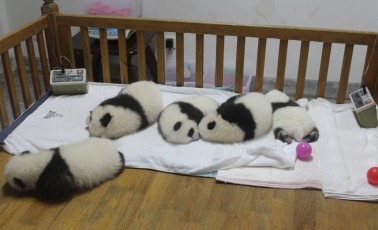 Chengdu - Research Base of Giant Panda Breeding IX (Panda Cubs)