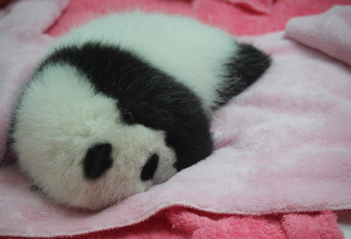 Vergrößerte Version von Chengdu - Research Base of Giant Panda Breeding XVIII (Panda Cubs) anzeigen
