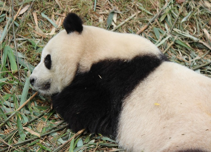 Vergrößerte Version von Chengdu - Research Base of Giant Panda Breeding XXVIII anzeigen