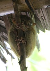 Bohol - Tarsier Sanctuary / Visitor Center IV