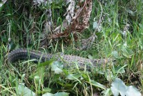 Everglades-Tour mit Airboat und Alligatoren XI