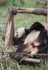 Chengdu - Research Base of Giant Panda Breeding XXVII