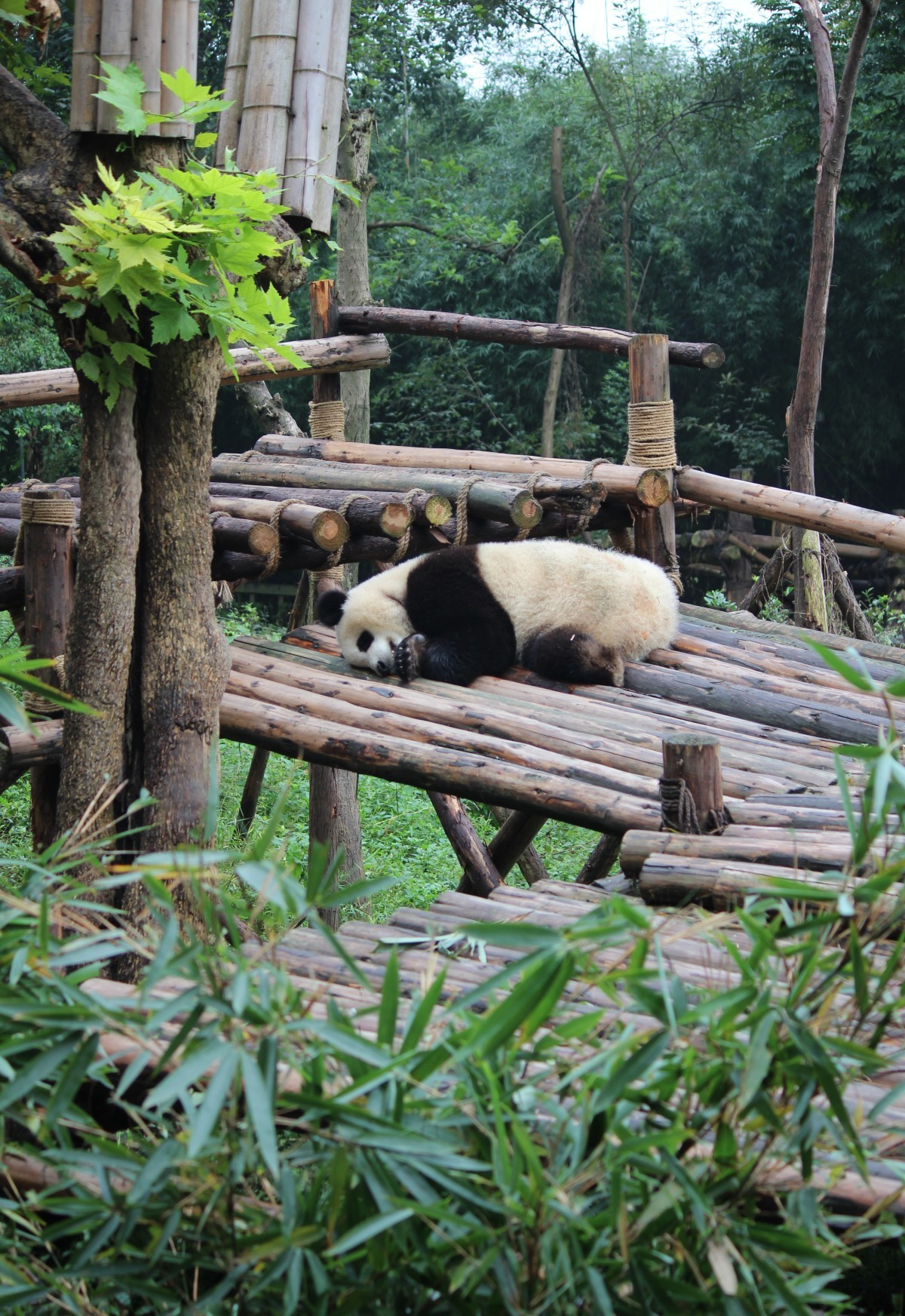 Chengdu - Research Base of Giant Panda Breeding II