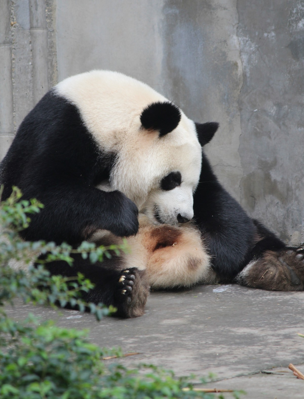 Chengdu - Research Base of Giant Panda Breeding XX