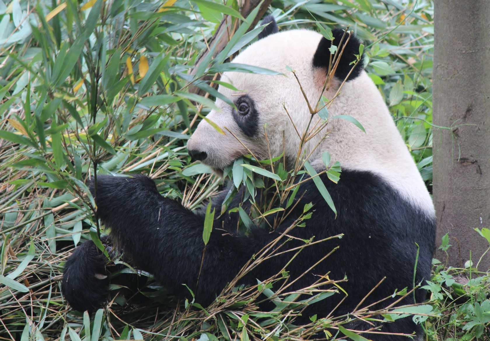 Chengdu - Research Base of Giant Panda Breeding XXXI