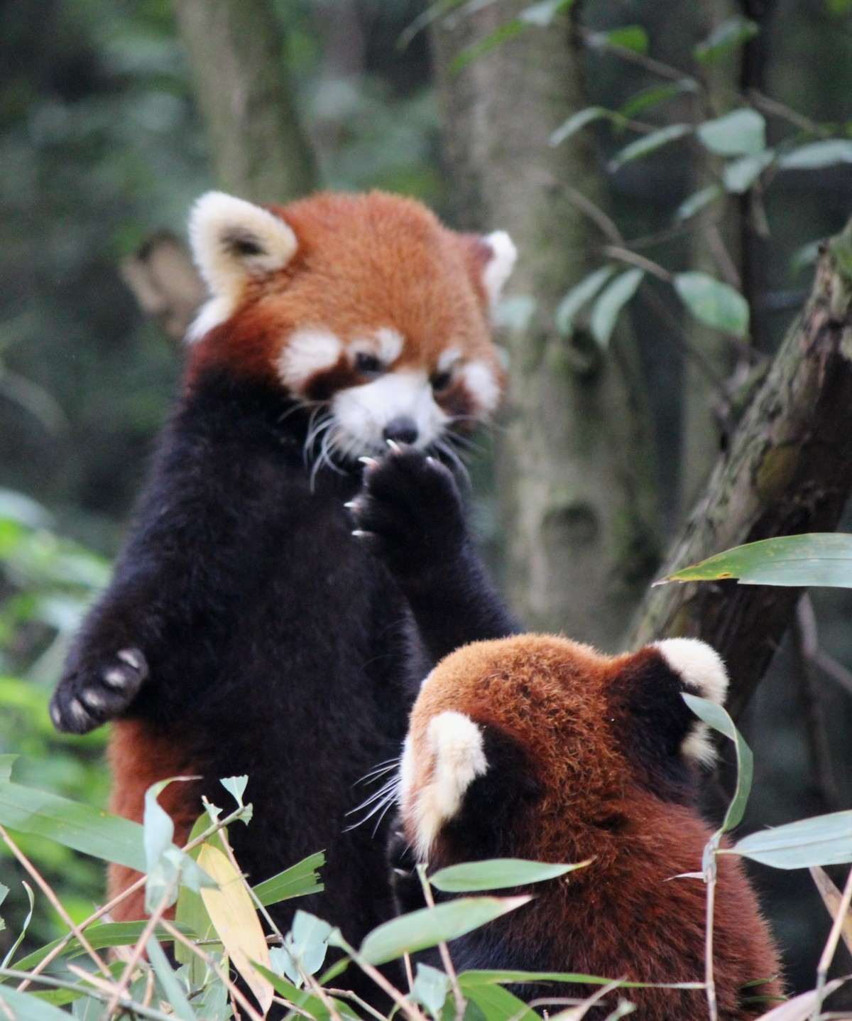 Chengdu - Research Base of Giant Panda Breeding XIV (Roter Panda, Firefox)