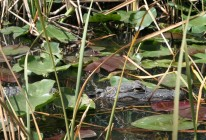 Everglades-Tour mit Airboat und Alligatoren V