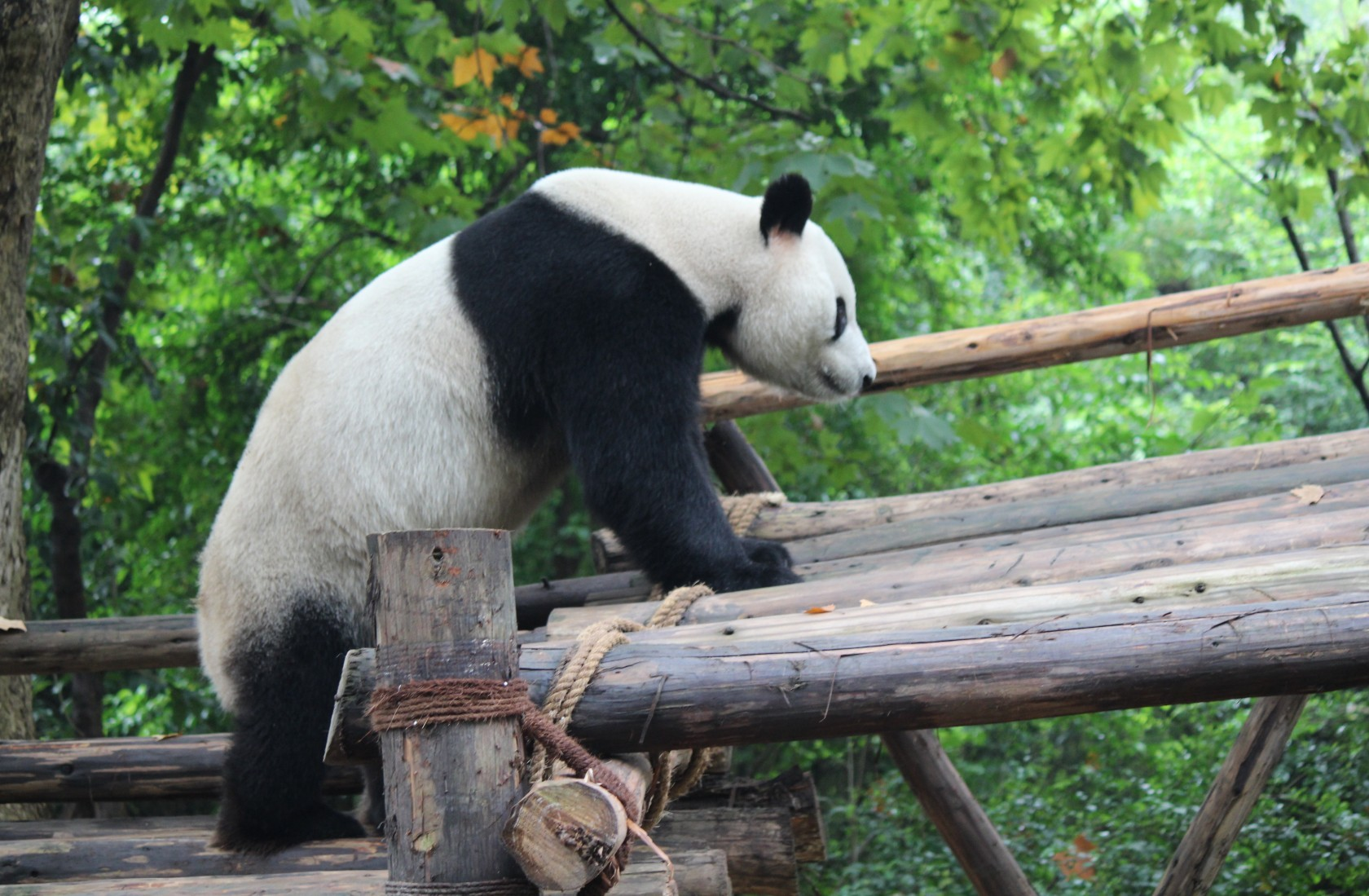 Chengdu - Research Base of Giant Panda Breeding I
