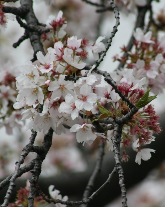 Cherry Blossoms in Washington D.C. VII