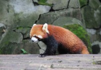 Chengdu - Research Base of Giant Panda Breeding XII (Roter Panda, Firefox)