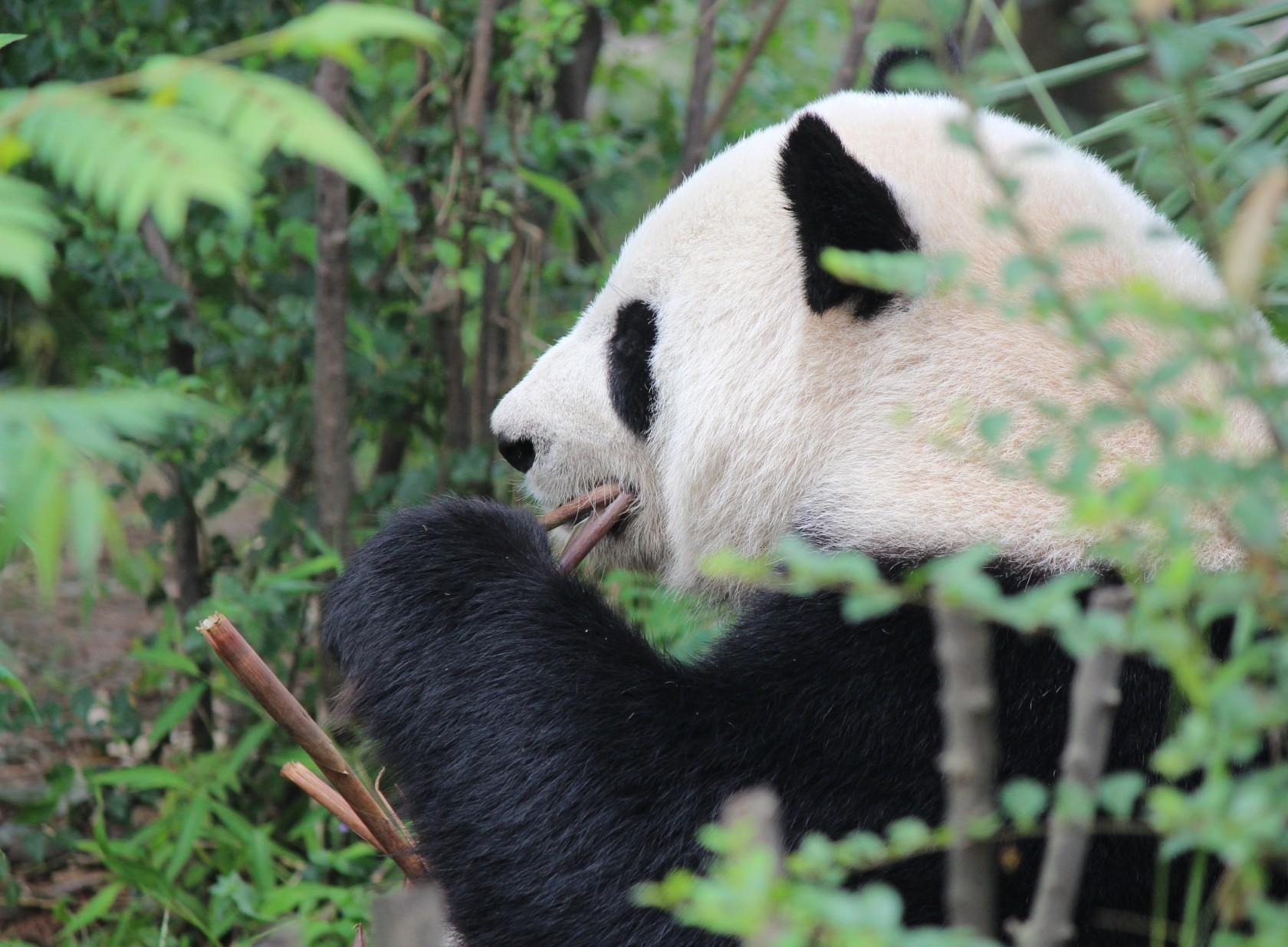 Chengdu - Research Base of Giant Panda Breeding XXI