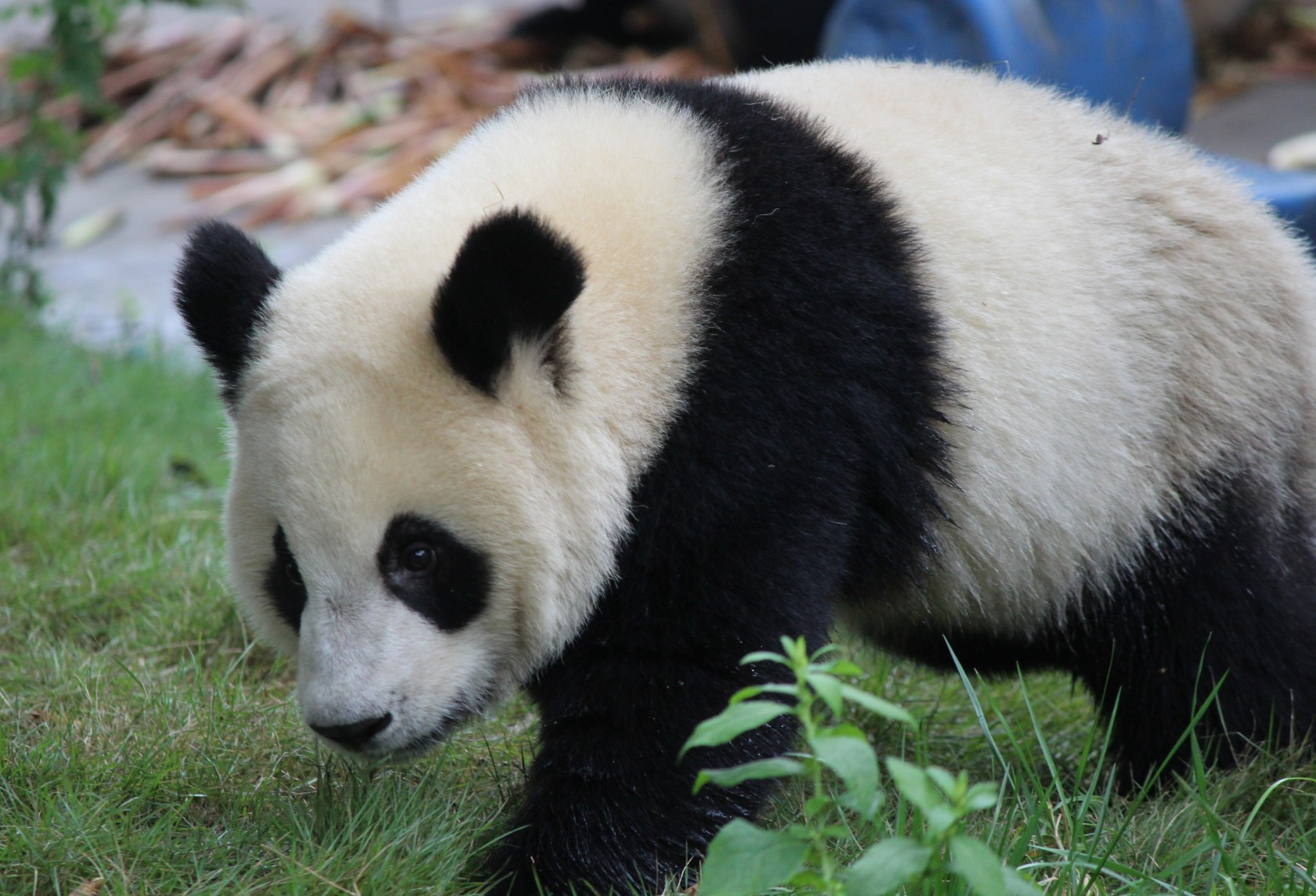 Chengdu - Research Base of Giant Panda Breeding V