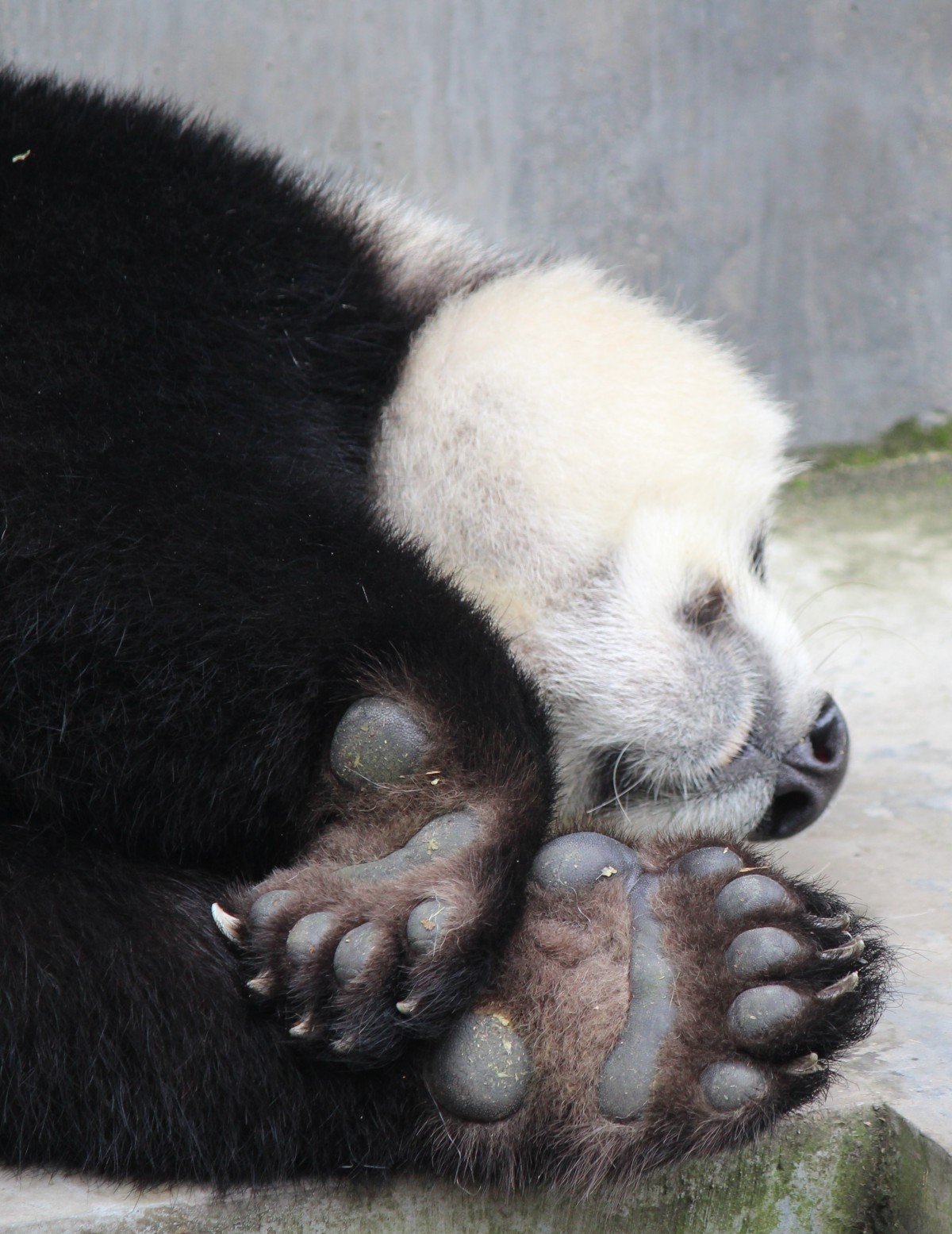 Chengdu - Research Base of Giant Panda Breeding XXIV