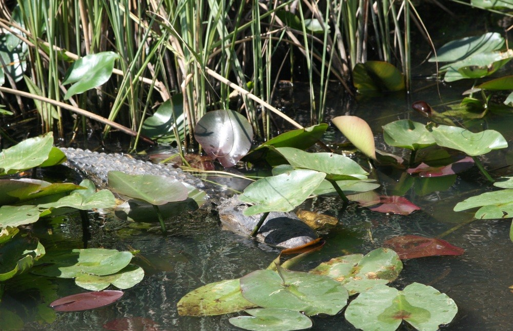 Everglades-Tour mit Airboat und Alligatoren IX