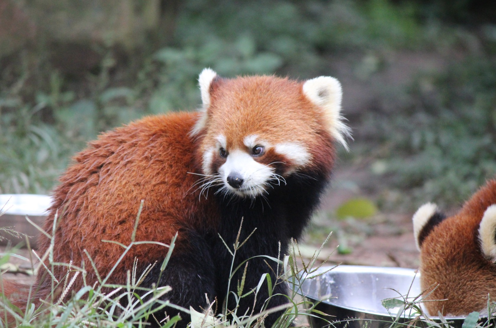 Chengdu - Research Base of Giant Panda Breeding X (Roter Panda, Firefox)