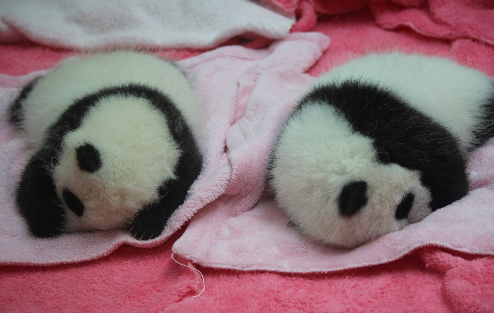 Chengdu - Research Base of Giant Panda Breeding XIX (Panda Cubs)