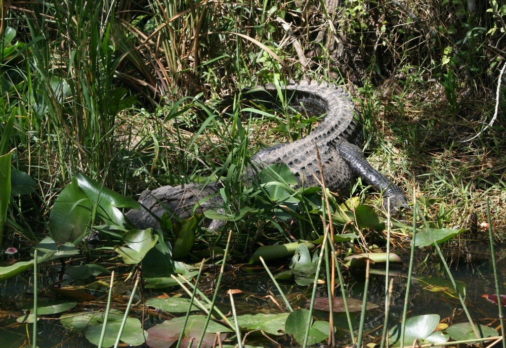 Everglades-Tour mit Airboat und Alligatoren III
