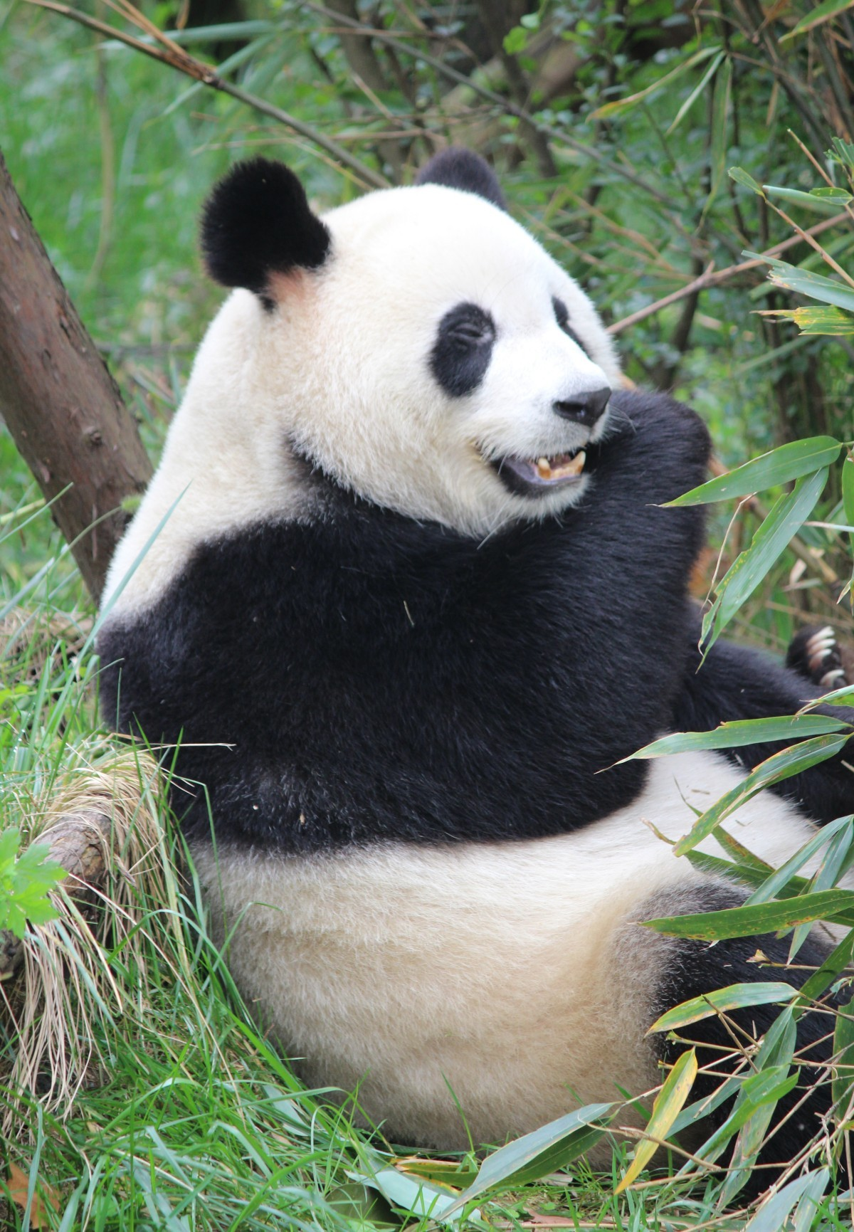 Chengdu - Research Base of Giant Panda Breeding XXIX