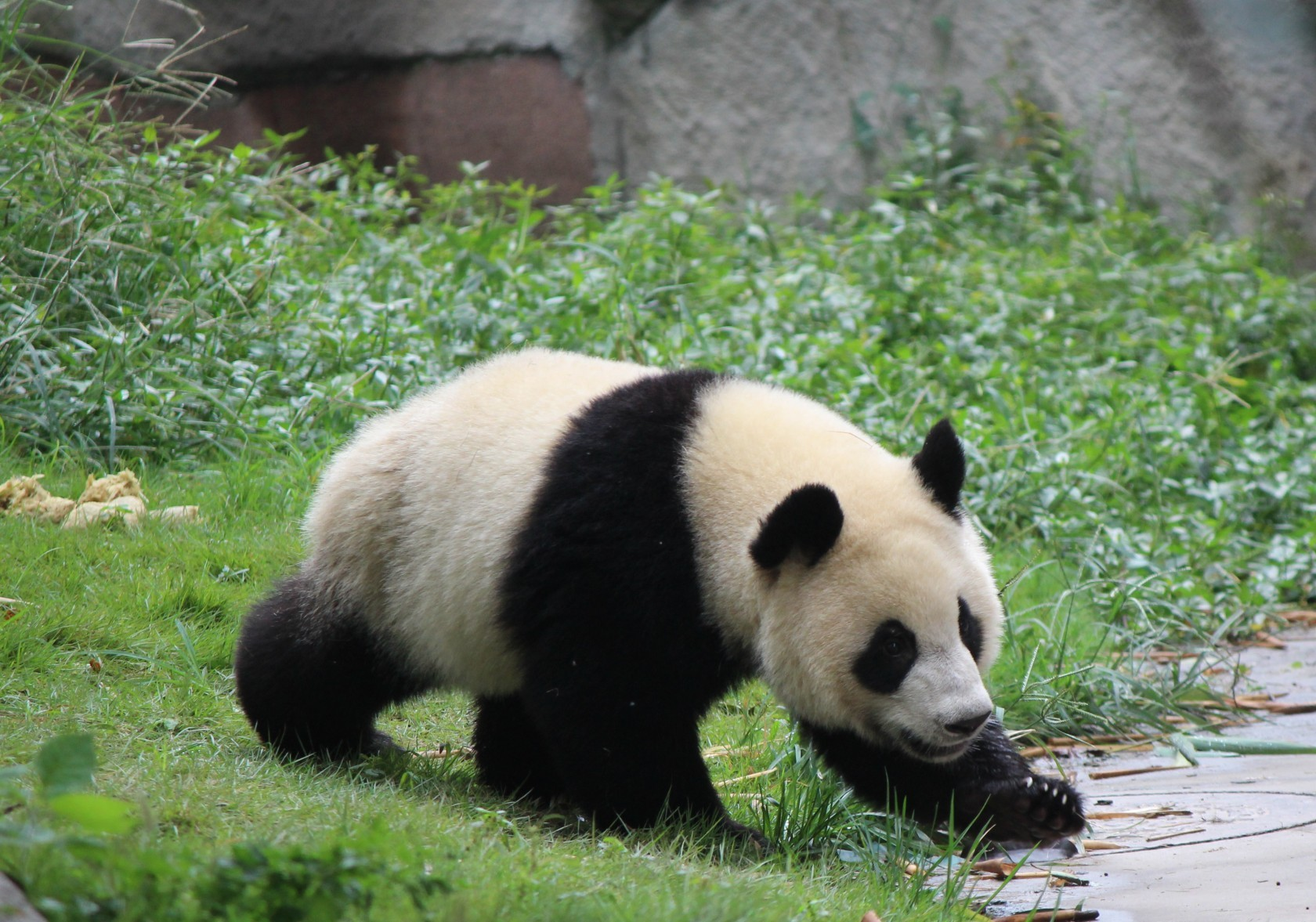 Chengdu - Research Base of Giant Panda Breeding IV